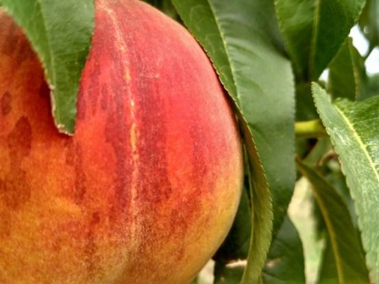 Выращивание корнесобственных растений персика