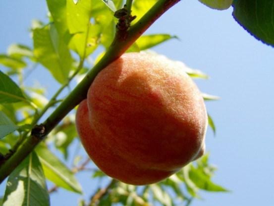 Зеленое черенкование персика