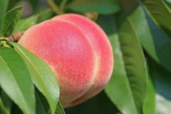 Гідна основа: вирощуємо найкращі підщепи для персика