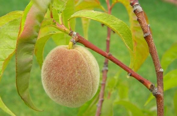 Час для персиків: переваги і недоліки осінньої та весняної посадок