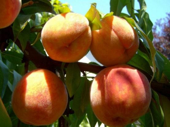 Опасный вредитель — персиковая тля: определяем и уничтожаем