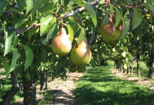 Груша-привереда: создаем продуктивный сад