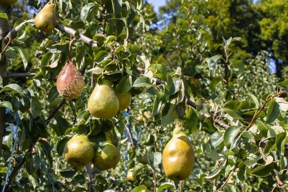 захист плодового саду від хвороб