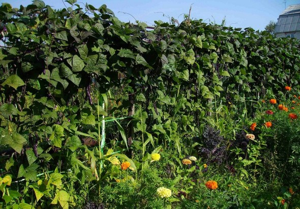 """Ажурні """"щити"""" овочевих вертикалей: вирощуємо захисні куліси для городини"""