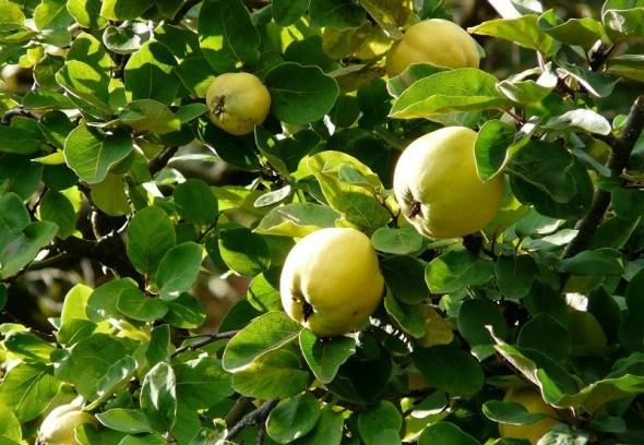 """Чарівне """"яблуко"""": цілющі властивості та їстівна цінність айви"""