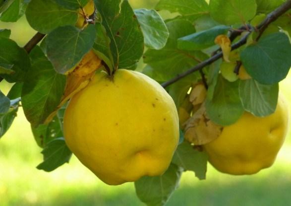 Прекрасні, корисні і смачні: айва та хеномелес у садибі