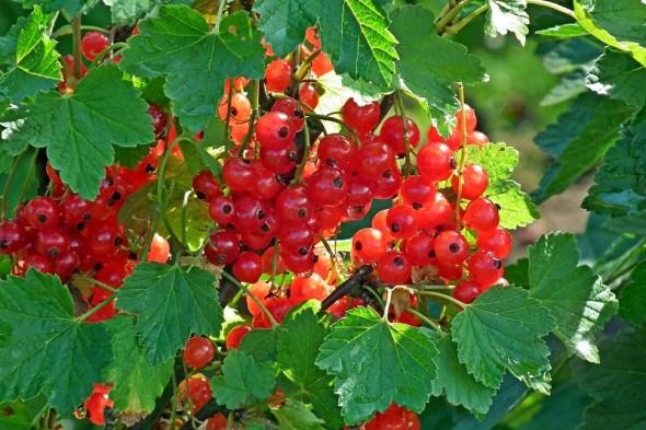 Порічки – врожайні та стійкі: посадка червоної смородини