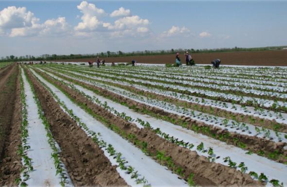 Технологія вирощування солодкого перцю у відкритому ґрунті: як підвищити продуктивність до 80 тонн с 1 га