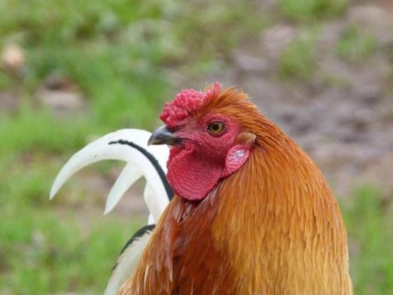 Петух-каплун коричневый