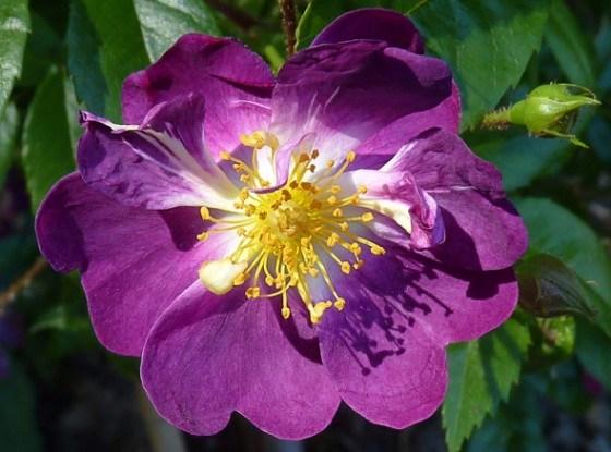 «Лианы» среди роз: интересные сорта и основной уход