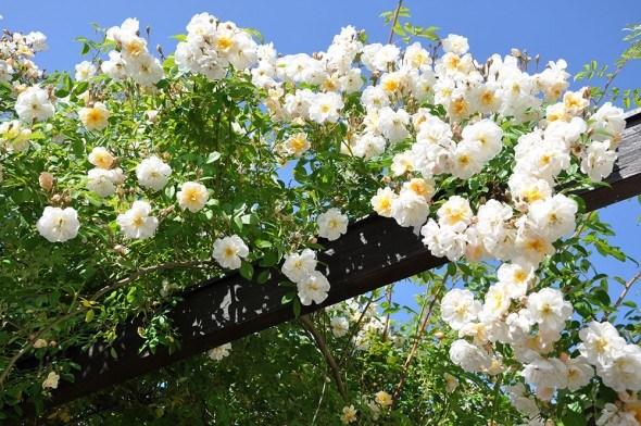 7 рекомендаций по посадке и выращиванию плетистых роз