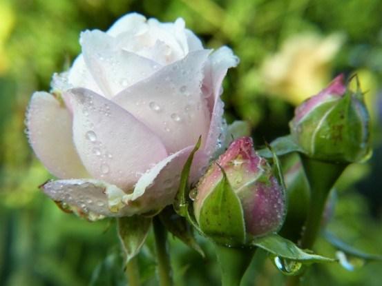 Троянди, свіжі та прекрасні: цілющі сили трояндових пелюстків