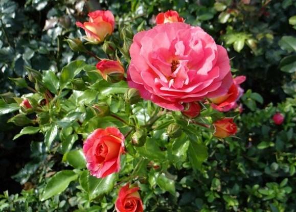 Живцювання троянд