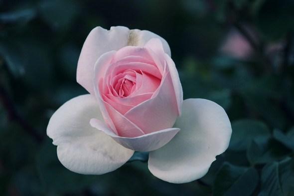 Трояндам скоро спати час: підготовка розарію до зимівлі