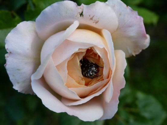 Та, що любить квіти: засоби боротьби з оленкою волохатою