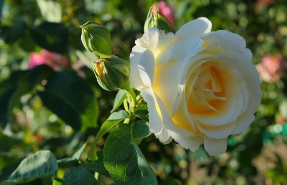 як розміщувати троянди у садибі
