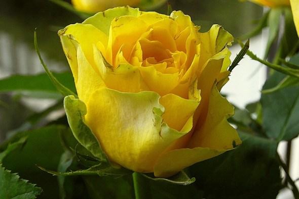 Королівський захист: боротьба зі шкідниками троянд