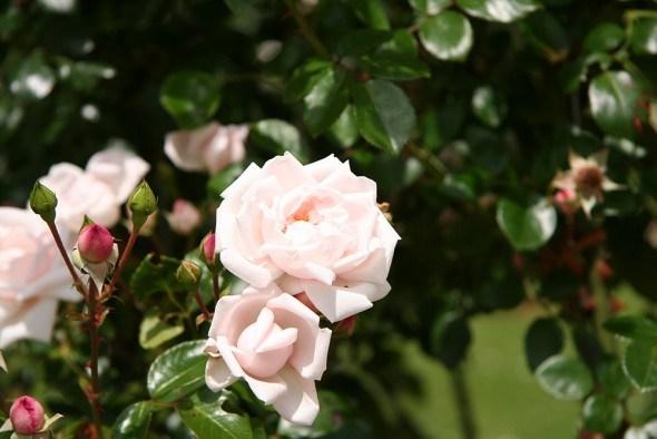 Красивые и выносливые: сорта роз, которым не страшны заморозки