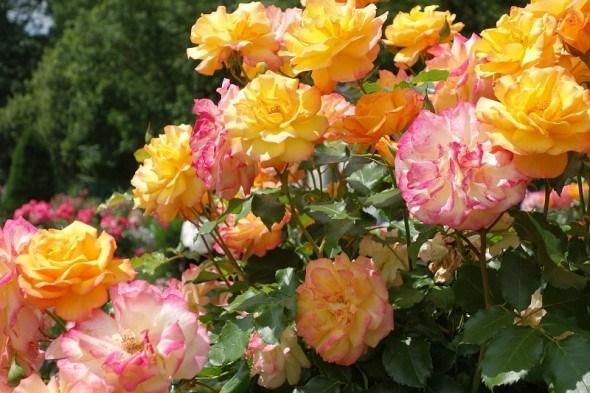 Щоб троянди квітували: виконуємо обрізку кущів