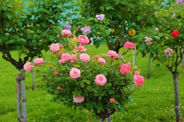 Трояндові дерева: особливості догляду штамбовими формами