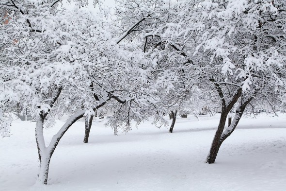 Зимові негаразди: як захистити плодові дерева у саду від підмерзання