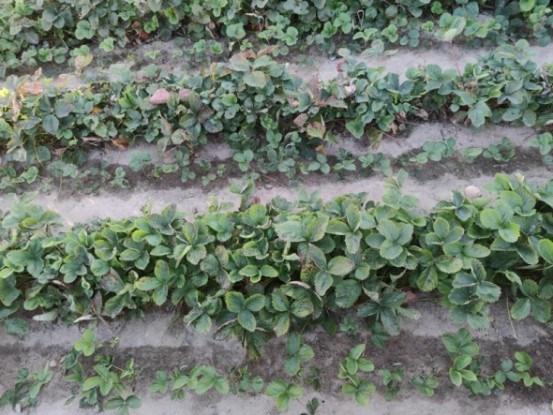 Крок за кроком: вирощування садової суниці в однорічній культурі