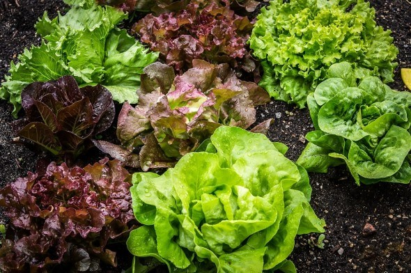 Как вырастить весенний салат