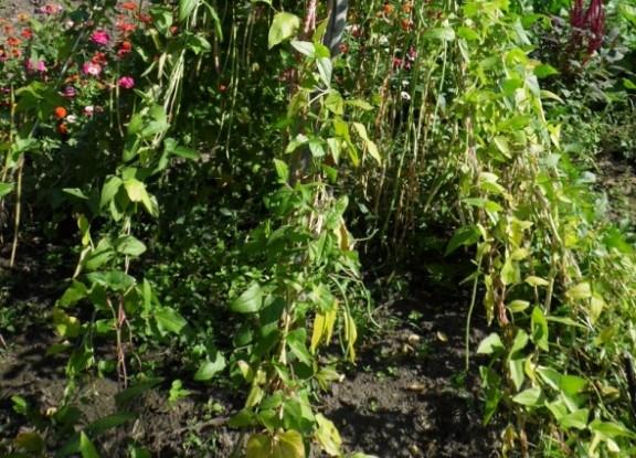 """Огородная """"неженка"""": выращиваем спаржевую вигну"""