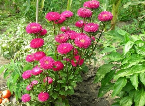 Низькорослі та букетні айстри: популярні сорти і основи вирощування