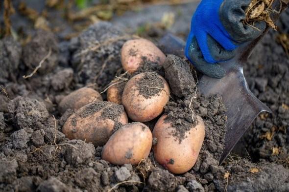 Технологія така, що картопля без жука
