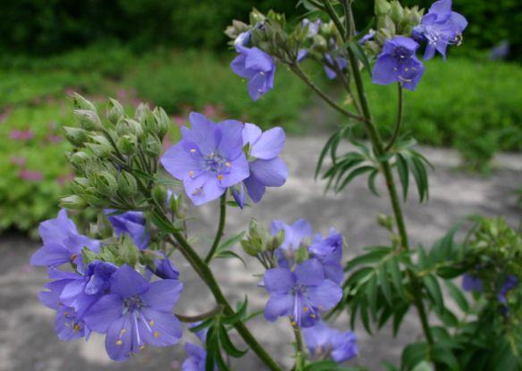 Полемониумы, или синюха, очень привлекательны