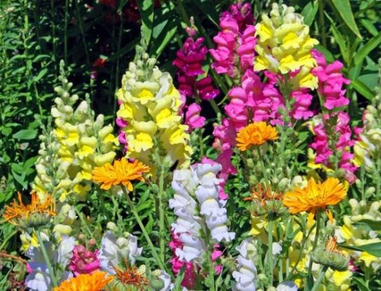 """Родом з дитинства: прикрашаємо садибу рослинами з """"бабусиного"""" квітнику"""