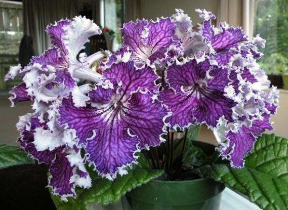 Стрептокарпус: как вырастить необычный цветок у себя дома?