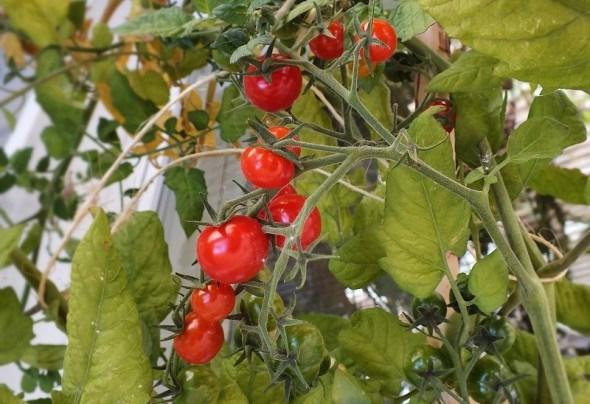 """Овочі """"на один зуб"""": карликові види та сорти овочевих культур"""
