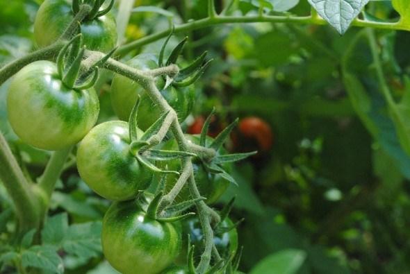 """Кожному овочу – своє місце: як """"подружити"""" різні овочеві культури на ділянці"""