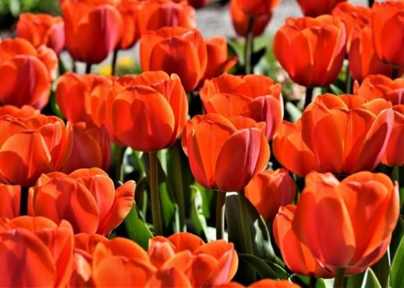 Для краси і здоров'я квітника: захищаємо тюльпани від хвороб
