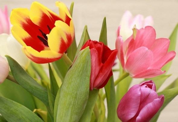 Квіти на підвіконні: вигонка тюльпанів до весняних свят