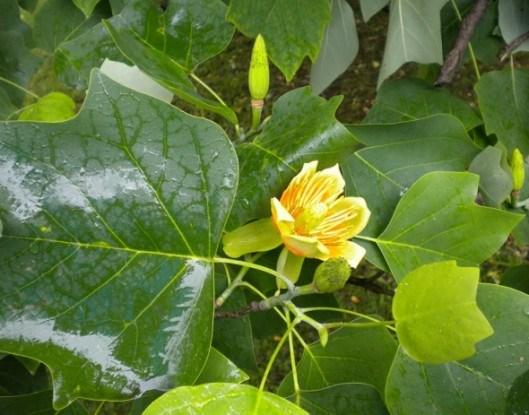 Древесный тюльпан, лириодендрон