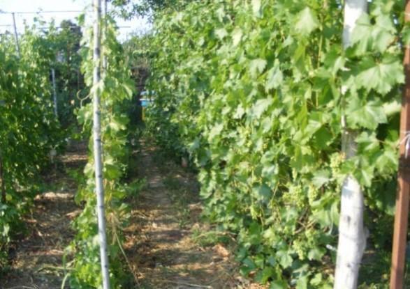 Додаткові ряди винограду в міжряддях