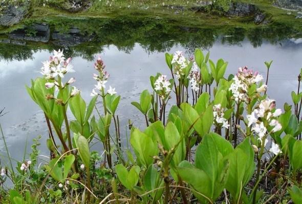 В цветастом уборе: подбираем растения для декоративного водоема
