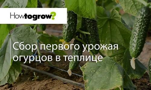 Урок 13: збір першого врожаю огірків в теплиці