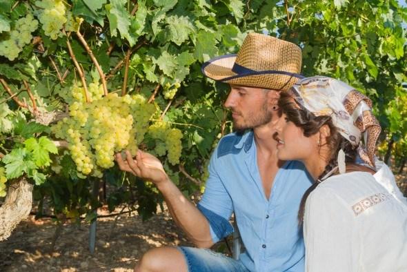 Виноград: основы правильного сбора и хранения