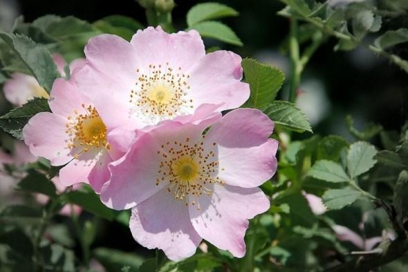 Дикая роза моего сердца: размножаем майский шиповник