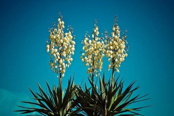 Юкка — вечнозеленая красавица. Выращивание, размножение, декоративное применение