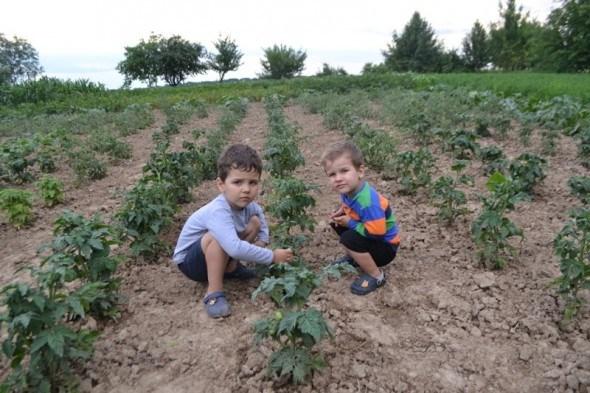 Гноми на городі: сорти помідорів серії Dwarf