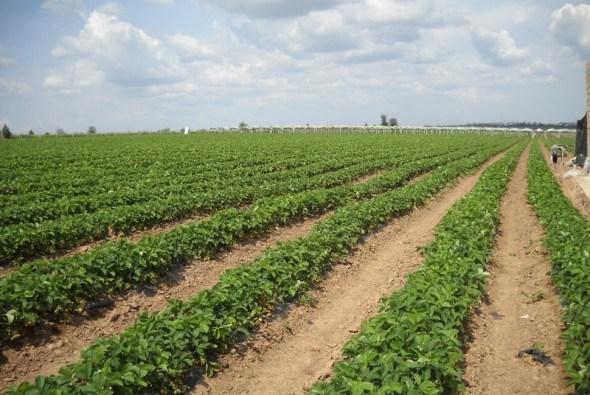 Скупий платить двічі: важливе правило для вирощування великоплідної суниці