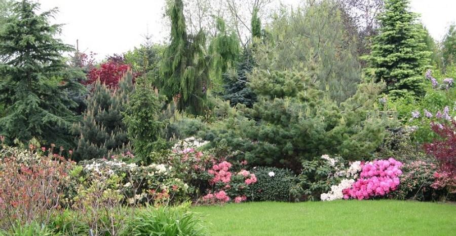 Завжди зелений та пишний сад: хвойні культури для початківців