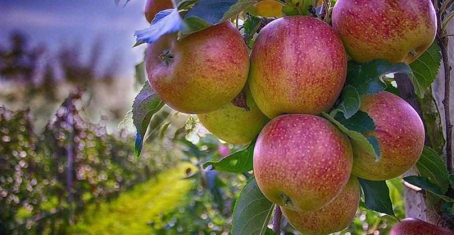 Дар божий – яблуко: сорти вітчизняної селекції