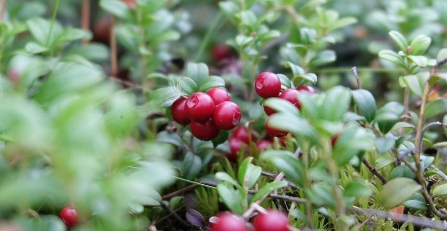 Лісова гостя: особливості посадки і вирощування брусниці