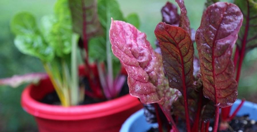 Подаруйте собі літо: вирощуємо городину на підвіконні